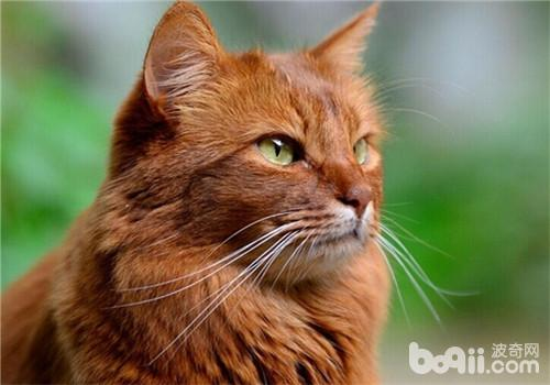 猫咪的健康体检-成猫饲养